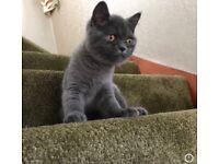 British Blue Shorthair Kittens For Sale