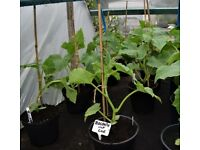 Massive vegetable plant sale; Celtic cabbage, black kale, broad beans, etc £1 a strip