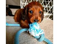 Dachshund in Scotland | Dogs & Puppies for Sale - Gumtree