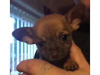 Full pedigree Chocolate teacup chihuahua boy