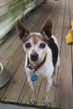 FOSTER Judith - 12yrs Mini Foxy x Chihuahua TOY SIZE Ingleside Warringah Area Preview