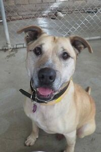 CEDRIC saved from death row - Needs loving home - Labrador X Ingleside Warringah Area Preview