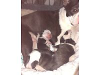 KC Boston Terriers pups
