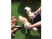2 Female puppy chihuahuas for sale