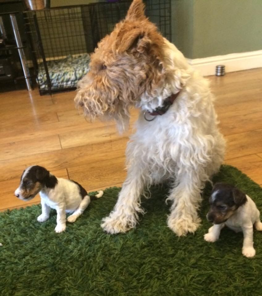 Stunning Kc Registered Wire Haired Fox Terrier Puppies