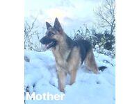 KC Registered / Black German Shepherd puppies