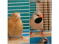 ZEBRA FINCHES AND OTHERS