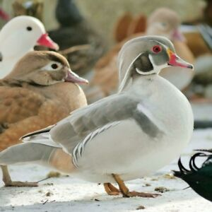 Silver and apericot wood ducks