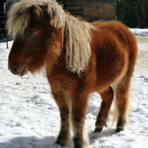 Miniature horse to rehome