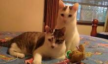 URGENT RESCUED ORIENTAL CROSS SIBLINGS NEED A LOVING FOREVER HOME Riverwood Canterbury Area Preview