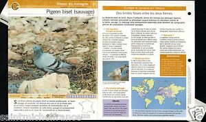 "Pigeon biset - Columba livia Rock Dove FICHE OISEAU BIRD - France - PORT GRATUIT A PARTIR DE 4 OBJETS BUY 4 ITEMS AND WORLDWIDE SHIPPING IS FREE EXCEPT USA, CANADA, AMERICA ONLY TRACKING MAIL FICHE TECHNIQUE, SPECIFICATION SHEET PAPIER GLACÉ, GLAZED PAPER RECTO-VERSO FORMAT 35 CM X 23,5 CM SIZE : 12.06"" X 8.28""  - France"