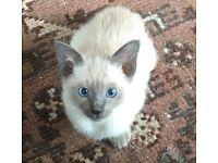 Stunning affectionate, blue eyed, bluepoint or sealpoint Siamese kitten