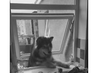 18month Alaskan malamute named storm looking for forever home