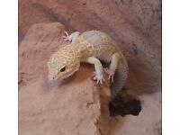 "FULL VIVARIUM SET UP & 2yr OLD FEMALE GECKO,LRG VIV 24""x18""x12"",gecko great size eating & pooingwell"