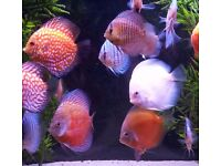 Discus fish, many strains and colours