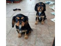 Beautiful Cavarlier King Charles Puppies