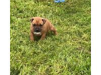 Staffy/Staffordshire bull terrier