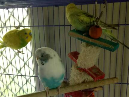 3 budgie and cage