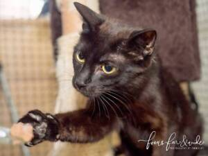 AU0030 : Herby - CAT for ADOPTION - Vet Work Included