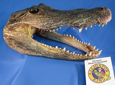 Alligator Head 5 - 6 Inches Genuine Real Gator American Taxidermy Reptile Croc