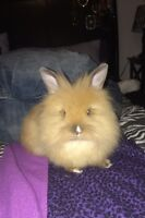 Lionhead bunny looking for a caring home ASAP