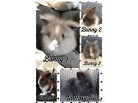 Double maned blue eyed Lionhead bunny rabbits ready to leave now!