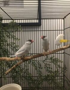 Two SILVER Java Finch Babies