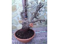 Exceptional Quality Yamadori Specimen Hawthorn available this Spring