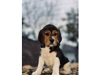 Arthur & Jhonny ( Beagle )