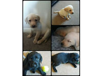 Labrador male puppies for sale