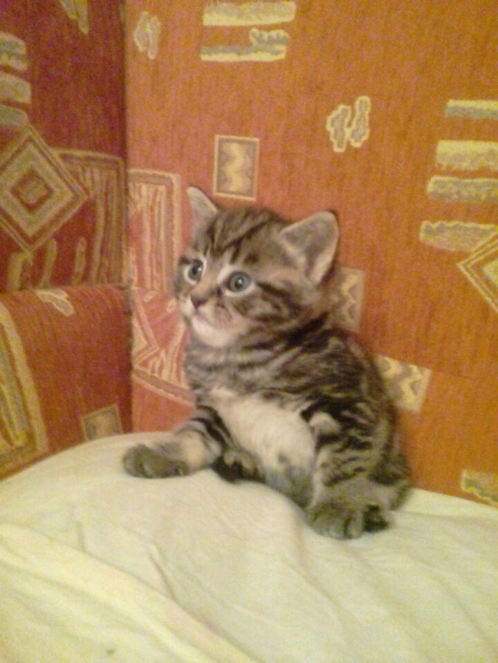 Tabby Kitten Mixed With Scottish Straight In