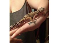 Leopard gecko 2 years old