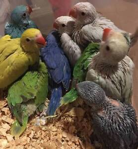 Hand Raised Indian Ringnecks For Sale Hallam Casey Area Preview
