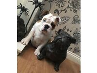 British bulldog bitch 18 weeks