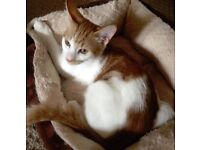 Lost/Missing Kitten -7 months old- Tycroes Penygarn Road-Ginger and White