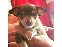 4 GORGEOUS CHIHUAHUA PUPS 2 MALES 2 FEMALES CHOC MALES CHIOC FAWN FEMALES