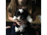 PEDIGREE SHIH TZU BOY PUPPYS