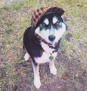 Lost black and white Husky Triabunna Glamorgan Area Preview