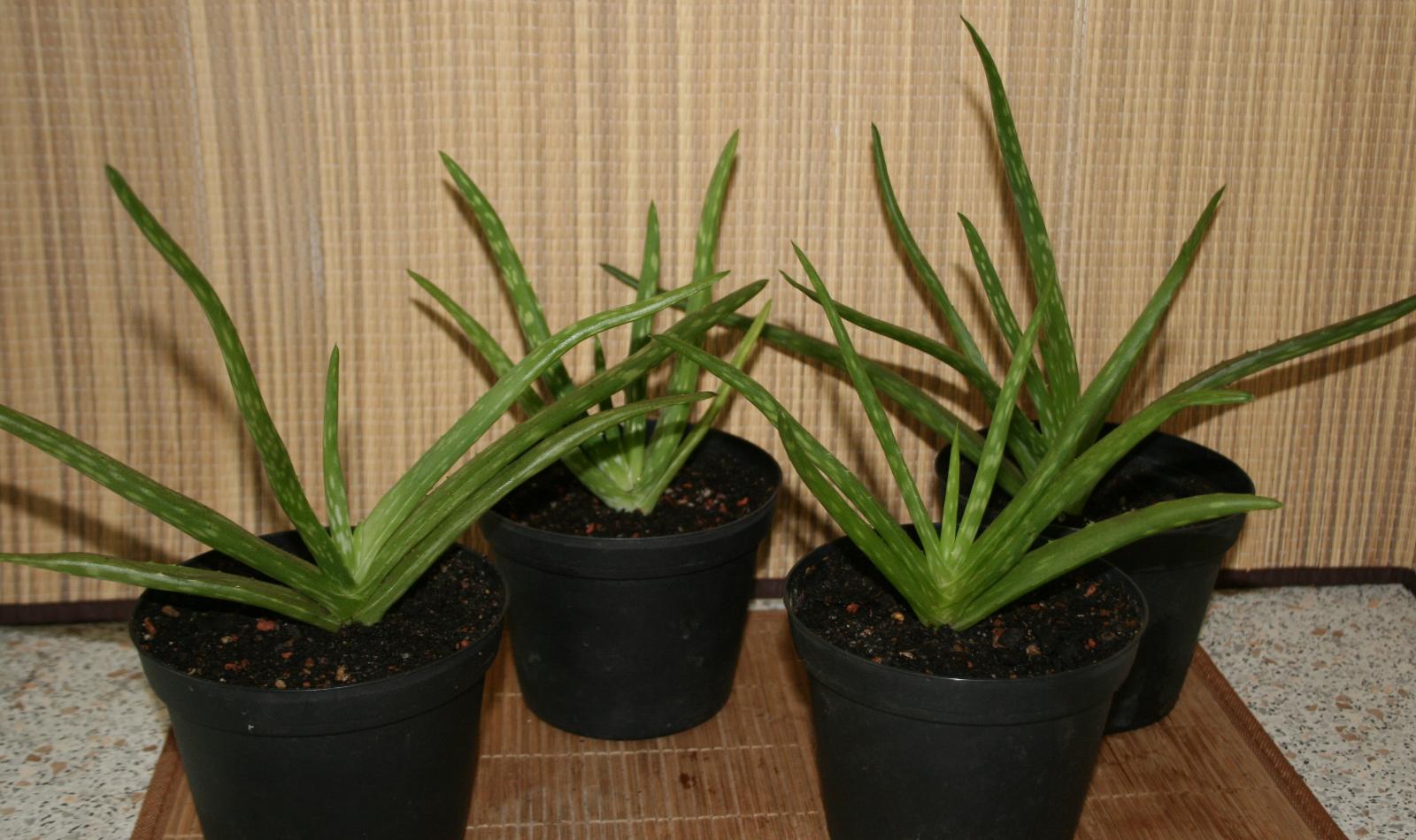 "Aloe Vera Pflanze - Echte Aloe Vera Barbadensis Miller ""sweet"" ca. 28cm groß"