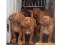 ***READY NOW*** 1 stunning Dogue de Bordeaux puppy left