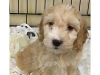 Cavachon puppies for sale in London