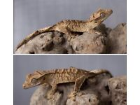 Brindle Crested Gecko Baby