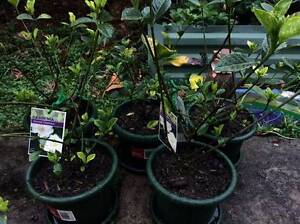 Moving 40 Potted Plants, Flowers, Fruit, Herbs. MUST SELL 7 Days! Eastgardens Botany Bay Area Preview