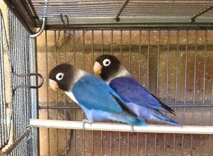 Baby violet black masked lovebird Australind Harvey Area Preview