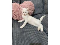 White angora gorgeous female kitten FOR SLAE