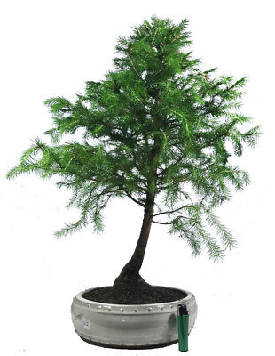 Norway spruce (picea abies) outdoor bonsai tree