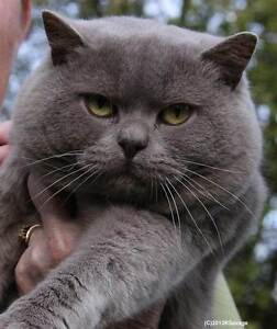 British Shorthair Male 2 years -Registered Breeder. Tingalpa Brisbane South East Preview