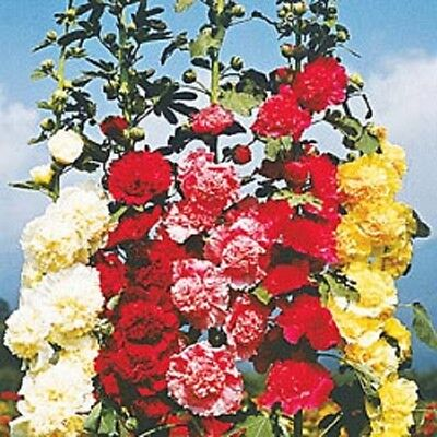 HOLLYHOCK MAJORETTE DOUBLE MIXED Colors✿150 SEEDS✿5-6 Feet Tall✿Large Flowers (Double Mixed Colors Flower)