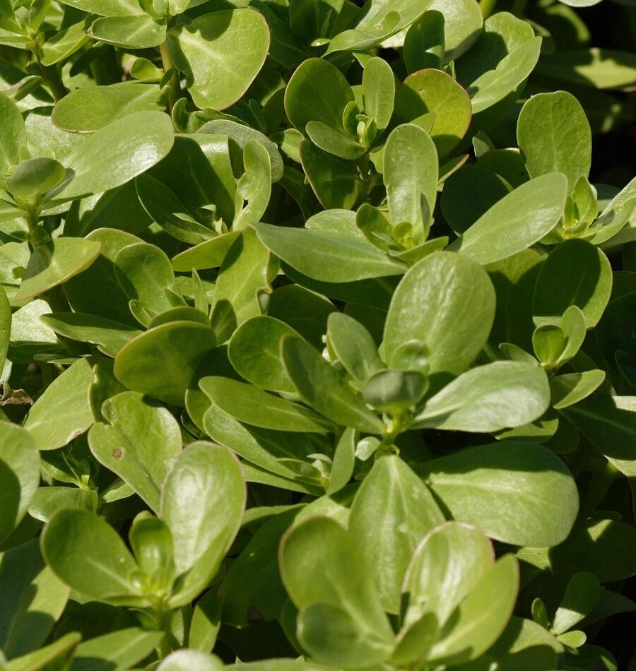 HERB  PURSLANE GREEN SUMMER  10 GRAM ~ 24000 SEEDS.
