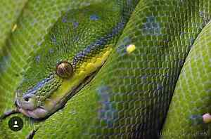 ~EOI~ GREEN TREE PYTHONS Millgrove Yarra Ranges Preview